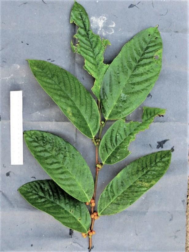 01 Ficus midotis Kuamut IMG_1281