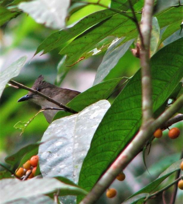 01 Puff-backed Bulbul Ficus subulata Bukit Sarang IMG_4802.jpg