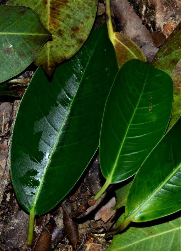 02 Ficus sumatrana Kinabalu Park●20190341★ Shuai LIAO-LSL_8547.JPG
