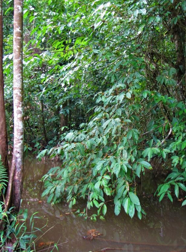 02 Subulata fruiting Bukit Sarang Swak IMG_8610