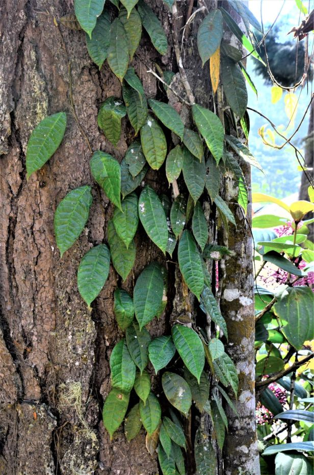 03 Ficus carrii  Kinabalu Park●20190332★ Shuai LIAO-LSL_8334.JPG