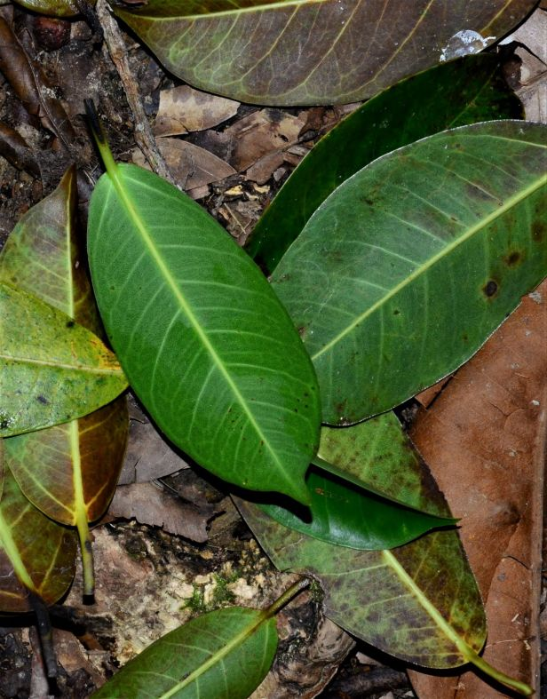 03 Ficus sumatrana Kinabalu Park●20190341★Shuai LIAO-LSL_8550.JPG