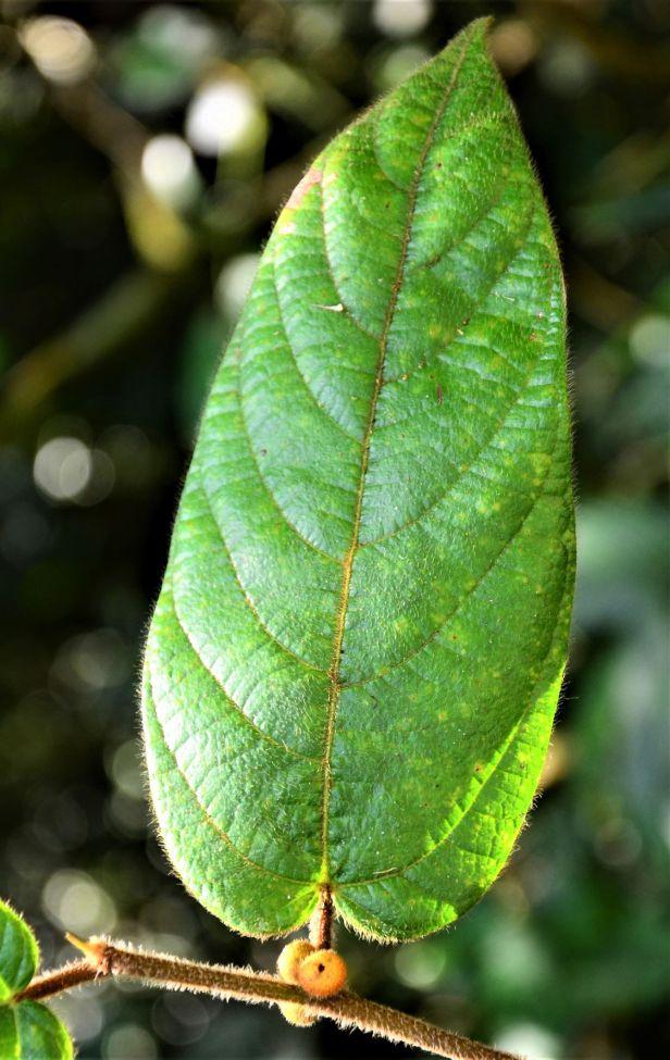 03 Ficus villosa Kinabalu Park●20190336★ Shuai LIAO-LSL_8435.JPG