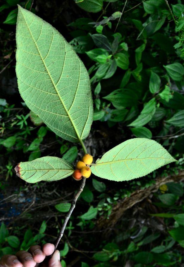 04 Ficus aurata  Kg Libang  Ranau, Kg. Libang●20190347★ Shuai LIAO-LSL_8641.JPG