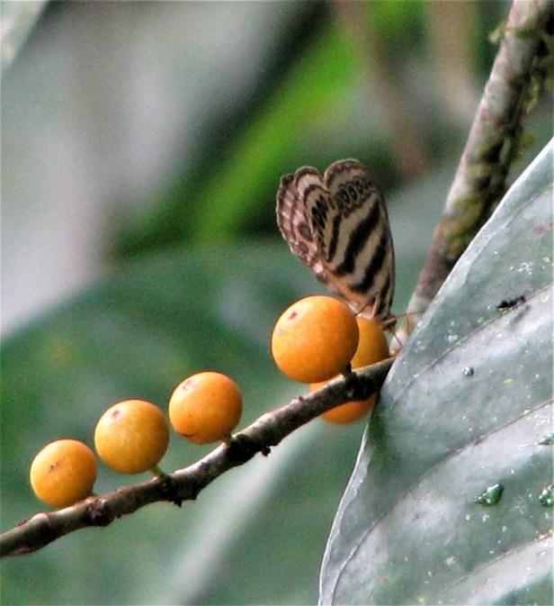 04 Ragadia makata Ficus subulata IMG_4808.jpg