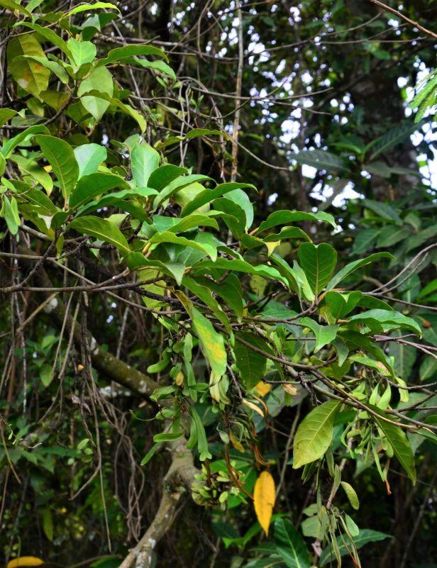 05 Ficus nervosa pubinervis  Ranau, beside KK-Sandakan Rd 20190344★ Shuai LIAO-LSL_8614.JPG