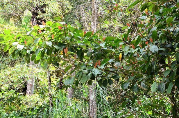 09 Ficus satterthwaitei Male tree  Kinabalu Park●20190337★ Shuai LIAO-LSL_8468.JPG