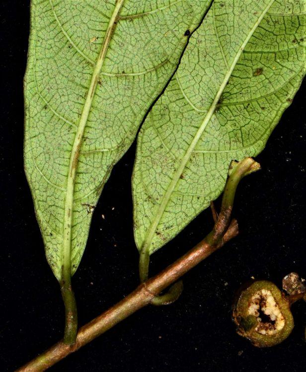 09 Ficus tarennifolia Kinabalu Park●20190342★Shuai LIAO-LSL_9165.JPG