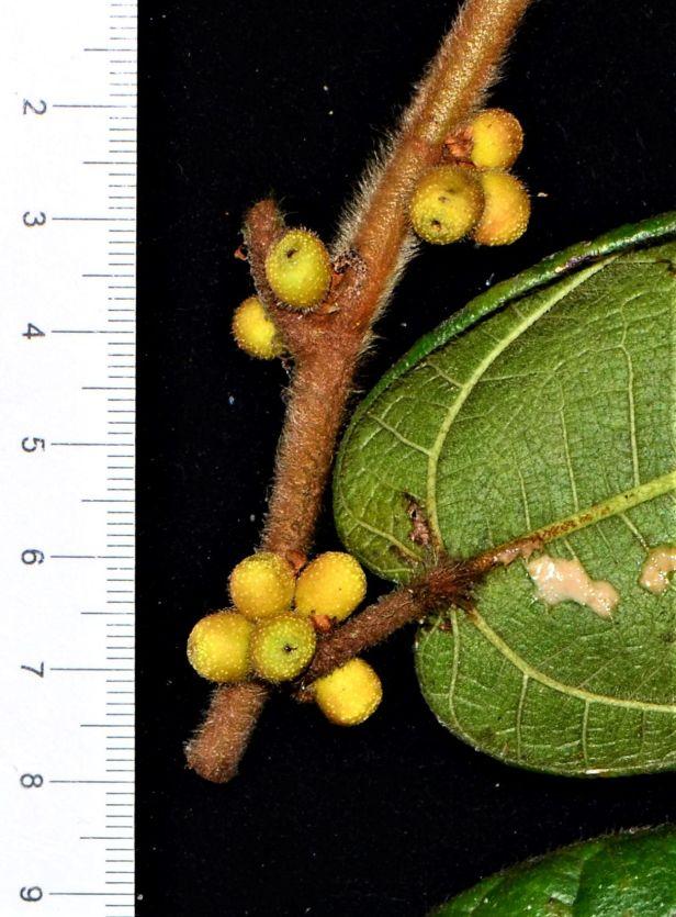 09 Ficus villosa Kinabalu Park●20190336★Shuai LIAO.JPG