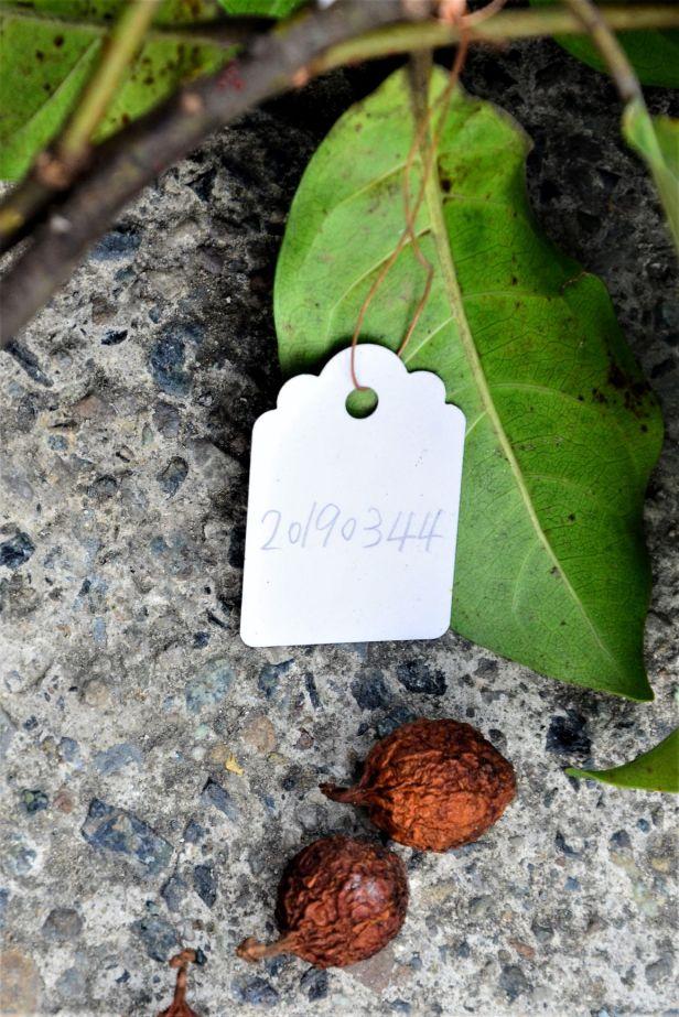 10 Ficus nervosa pubinervis Ranau ●20190344★ Shuai LIAO-LSL_8626