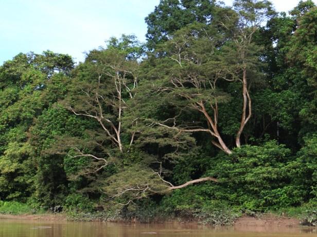 Ficus 3P7A1107