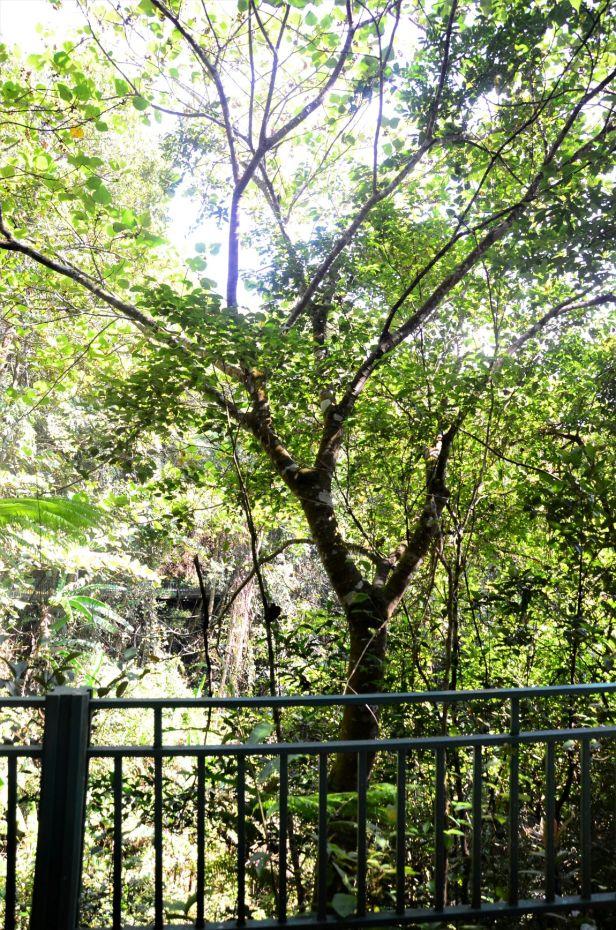 02 Ficus endospermifolia Kinabalu Park HQ●20190334★By Shuai LIAO-LSL_8374.JPG