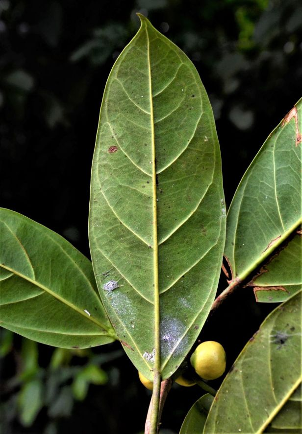 02 Ficus subgelderi Sepilok B&B●20190462★ Shuai LIAO-LSL_3171.JPG
