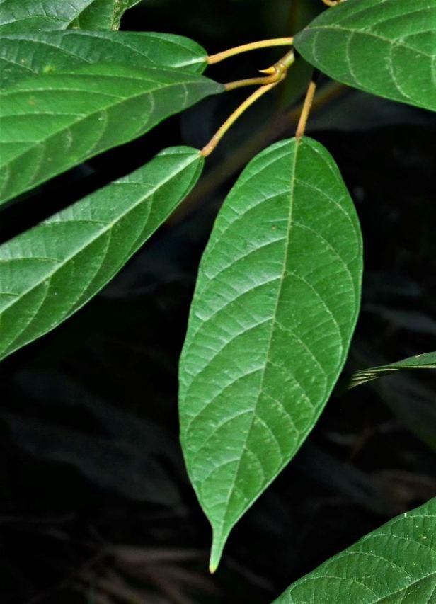 04 Ficus lumutana Ulu Kimanis Substation●20190388★ Shuai LIAO-LSL_0042.JPG