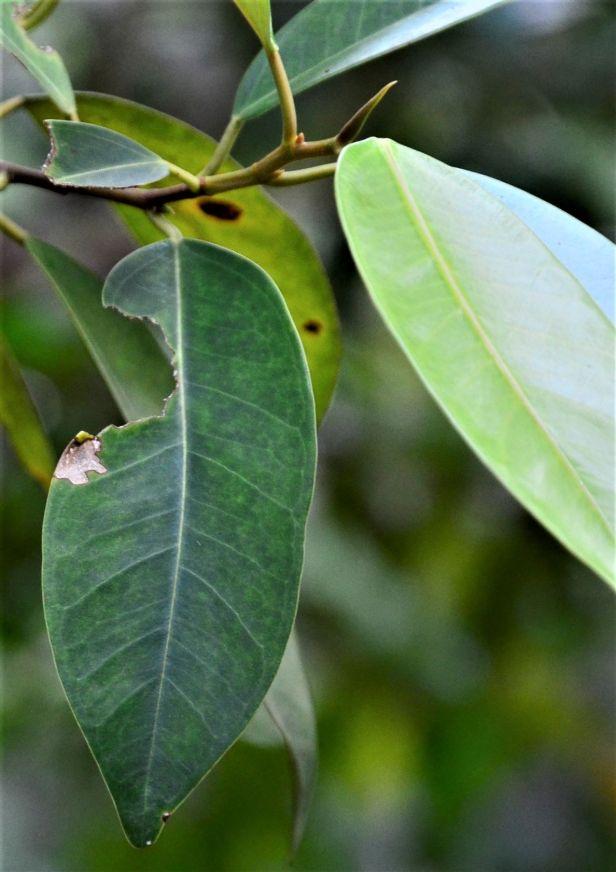 05 Ficus binnendijkii Ulu Kimanis Substation●20190389★ Shuai LIAO-LSL_0086 - Copy.JPG