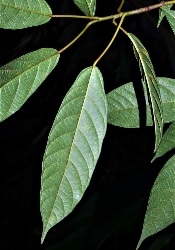 05 Ficus lumutana Ulu Kimanis Substation●20190388★Shuai Liao.JPG