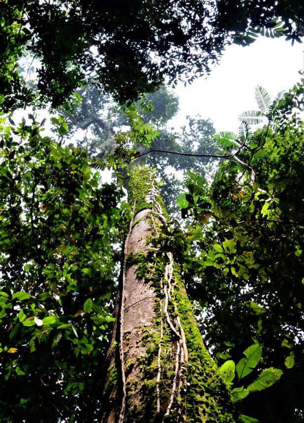 06 Ficus barba-jovis RDC Canopy Walkway●20190451★ Shuai LIAO-LSL_2776.JPG