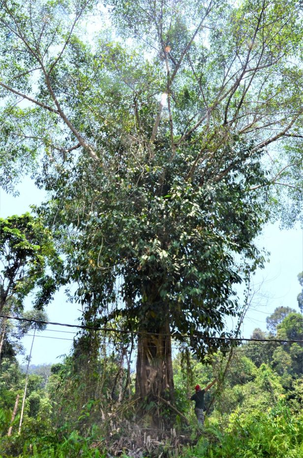 07 Ficus globosa Tangkulap FR●20190419★ Shuai LIAO-LSL_1482.JPG