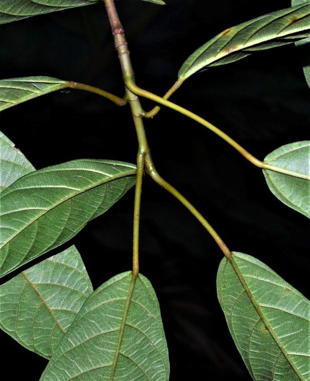 07 Ficus lumutana Ulu Kimanis ●20190388★ Shuai LIAO-LSL_0 - showing glands.JPG