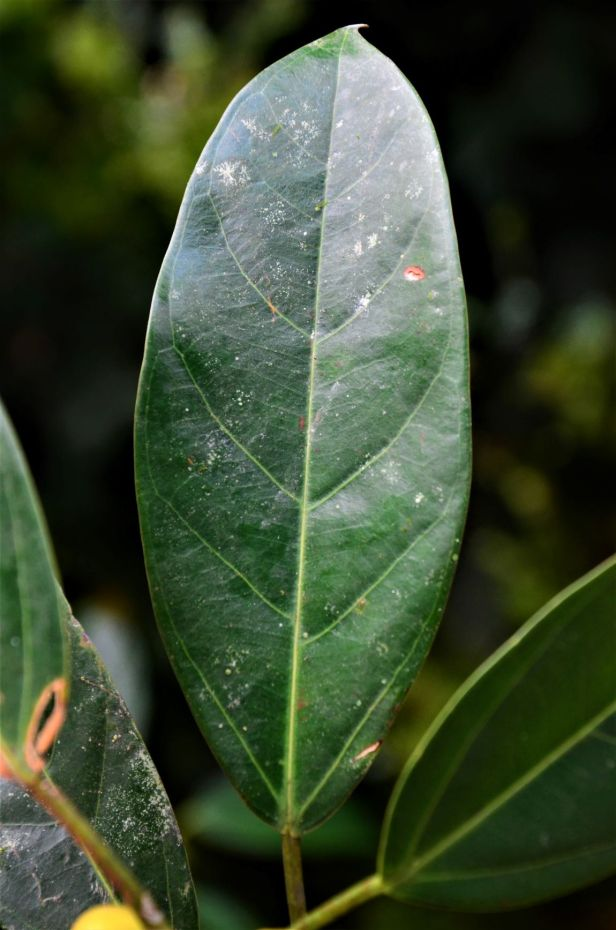07 Ficus subgelderi  Sepilok B&B●20190462★Shuai LIAO-LSL_3177.JPG