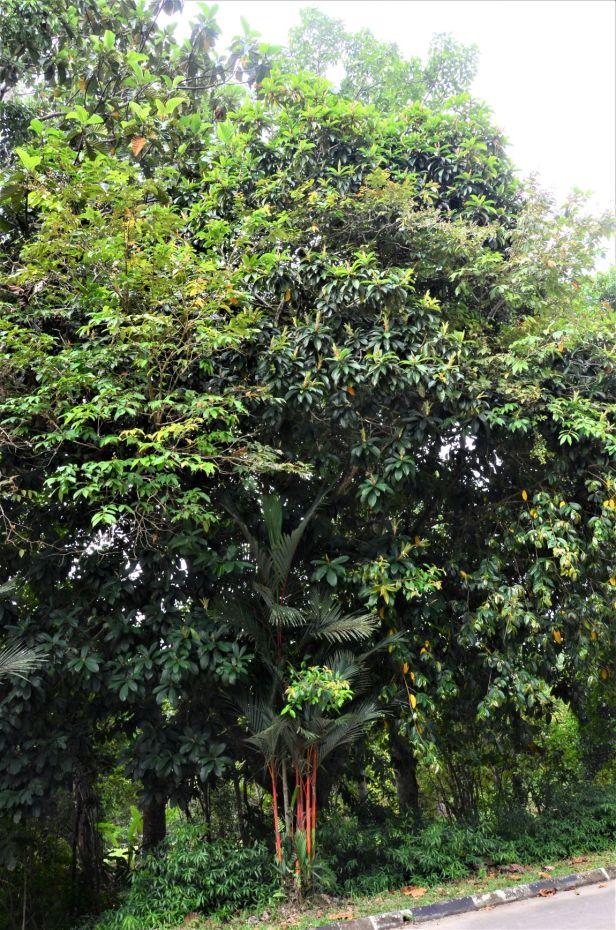 08 Ficus annulata Sepilok B&B●20190464★ Shuai LIAO-LSL_3243