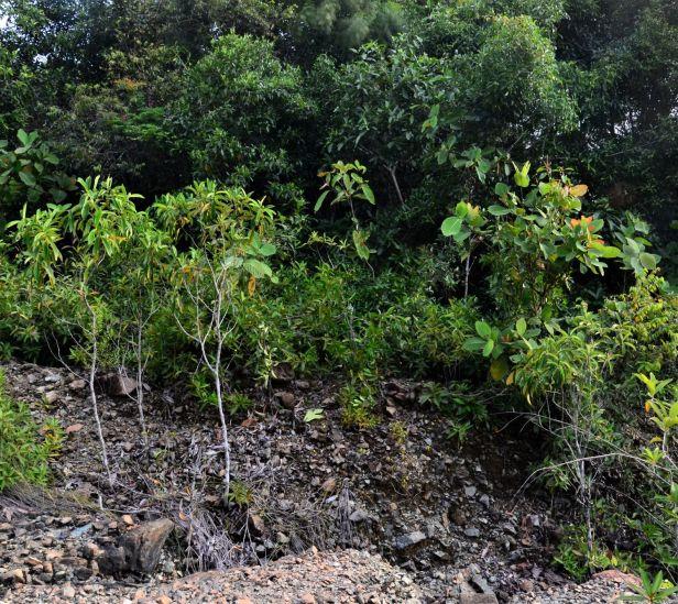 08 Ficus depressa Tongod, Pinangah FR, ●20190430★Shuai LIAO-LSL_1857