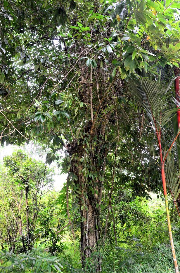 09 Ficus depressa Entrance of Sepilok B&B●20190463★Shuai LIAO-LSL_3209.JPG