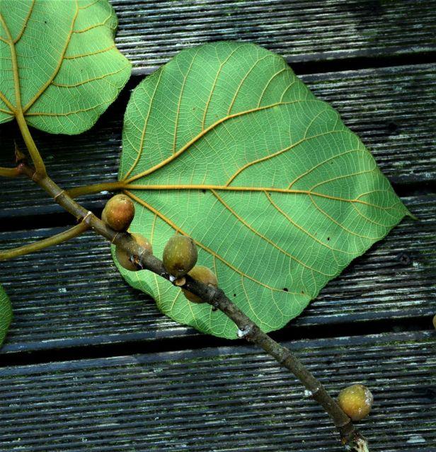 09 Ficus endospermifolia  Kinabalu Park●20190334★ Shuai LIAO-LSL_8363.JPG