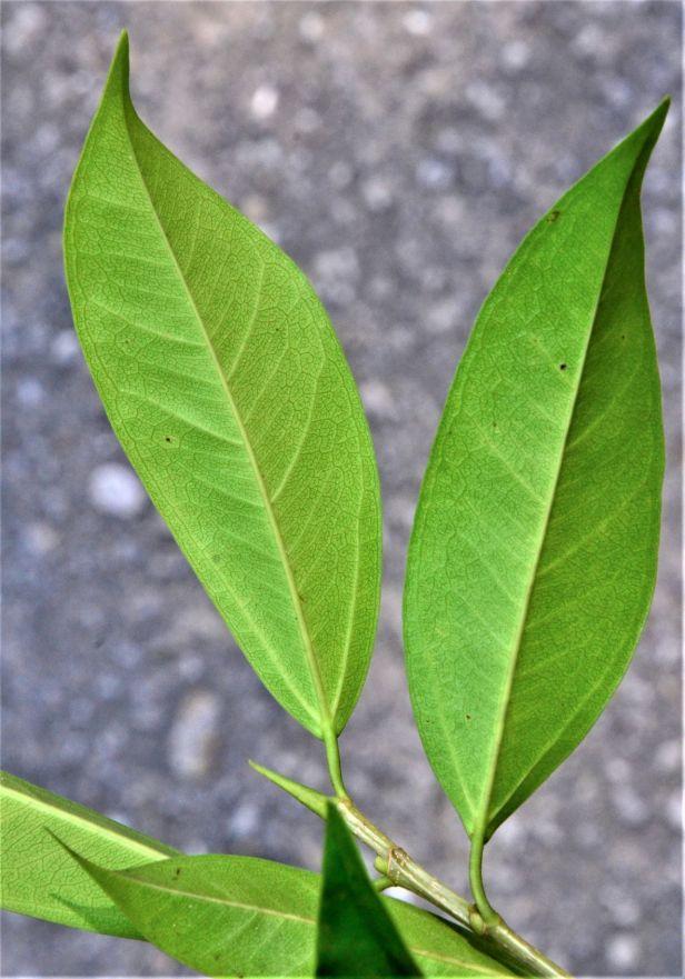 09 Ficus sundaica RDC Jalan Fabia●20190456★ Shuai LIAO-LSL_2986.JPG