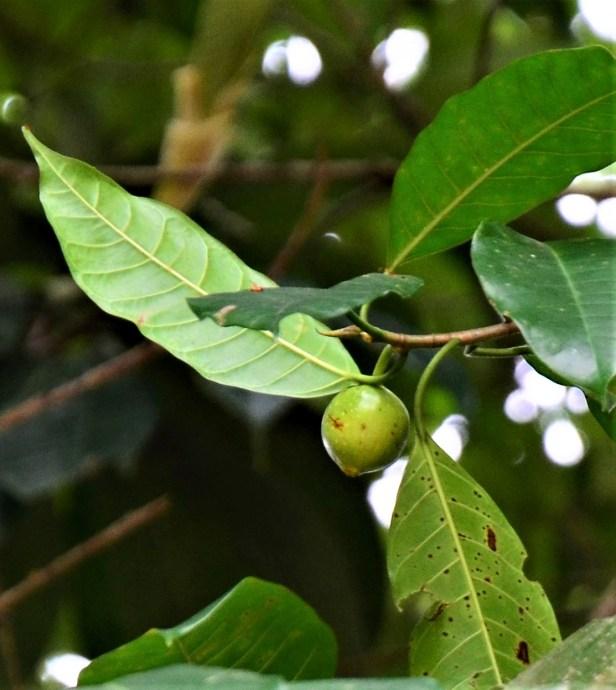 10 Ficus depressa  Entrance of Sepilok B&B●20190463★Shuai LIAO-LSL_3216.JPG