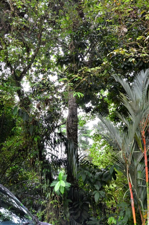 10 Ficus subgelderi Sepilok B&B●20190462★ Shuai LIAO-LSL_3194