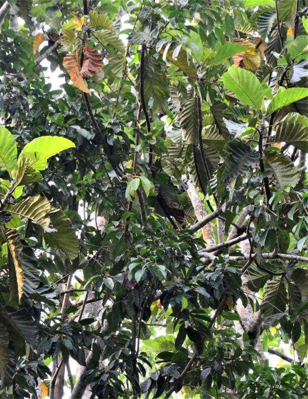 11 Ficus subgelderi Sepilok B&B●20190462★ Shuai LIAO-LSL_3202.JPG
