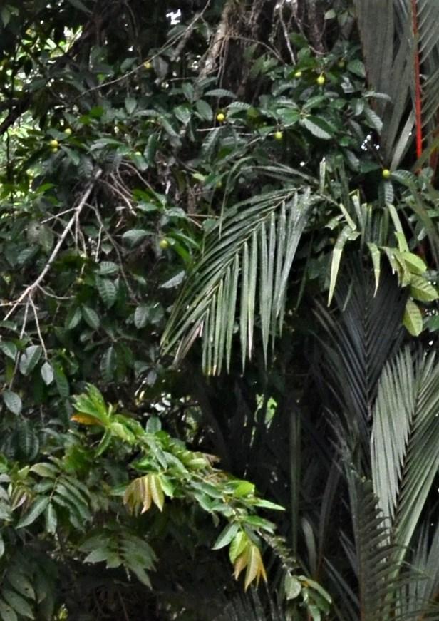 12 Ficus depressa  Entrance of Sepilok B&B●20190463★ Shuai LIAO-LSL_3224.JPG