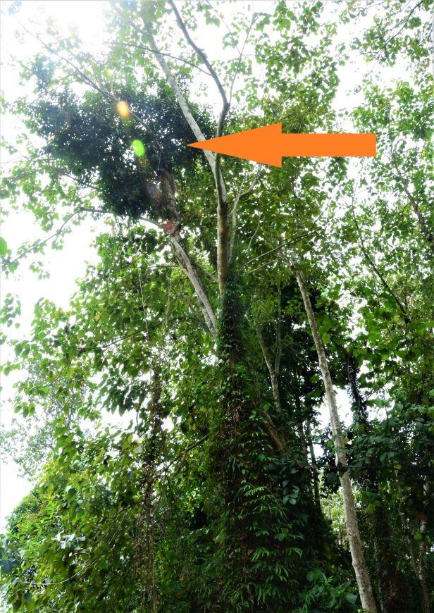 12 Ficus pellucidopunctata Segaliud Lokan●20190460★ Shuai LIAO-LSL_3084.JPG