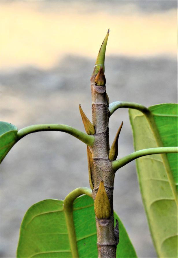 13 Ficus globosa Tongod,Tangkulap FR●20190419 Shuai LIAO-LSL_1484
