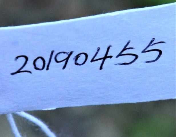 01 Ficus annulata  Arboretum office-Sepilok  Arboretum Office●20190455★Shuai LIAO-LSL_2917.JPG