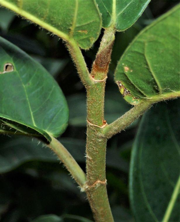 01 Ficus cucurbitina BORA. Tabin 6-10 Nov. AP (651).JPG