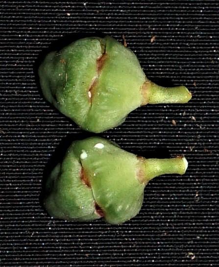 01 Ficus deltpoidea fruit SC02685