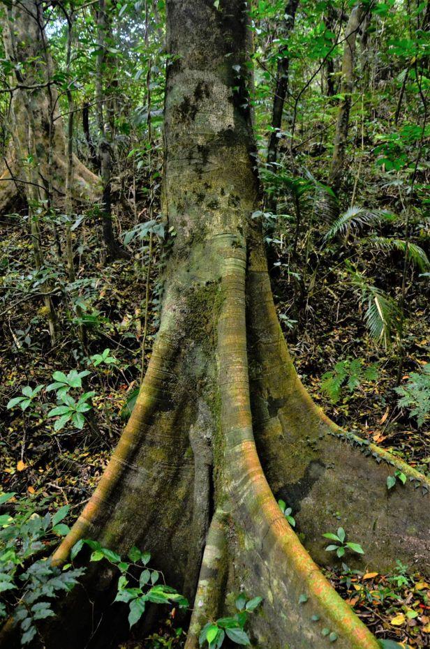01 Ficus nervosa pubinervis★ Orchid Island●20190262★ Shuai LIAO-LSL_7076