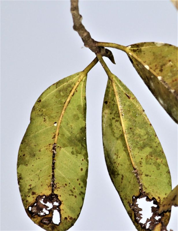 02 Ficus callophylla Deramakot IMG_2484.JPG