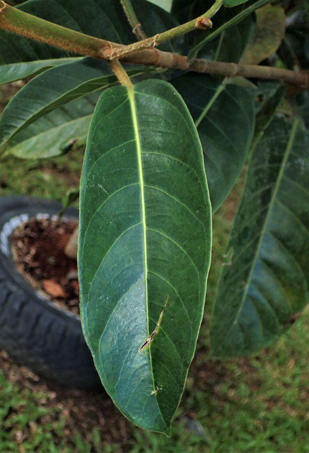 02 Ficus cucurbitina Tabin 6-10 Nov. AP (652).JPG