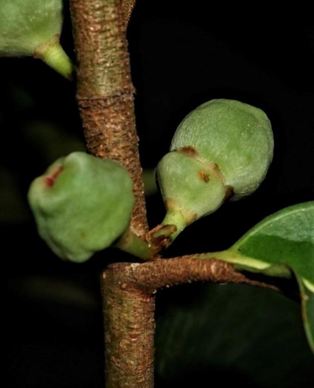 03 Ficus deltoidea fruit DSC02668