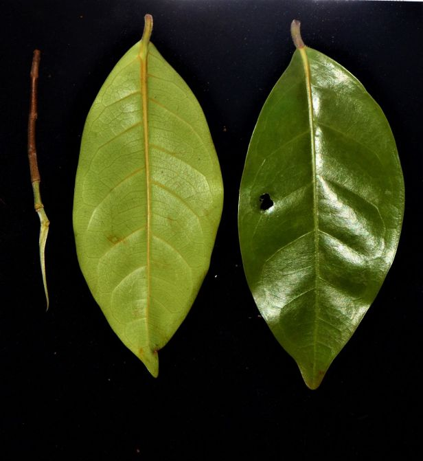 03 Ficus nervosa Beside Jalan Ranau Tambunan●20190402★ Shuai LIAO-LSL_3286.JPG