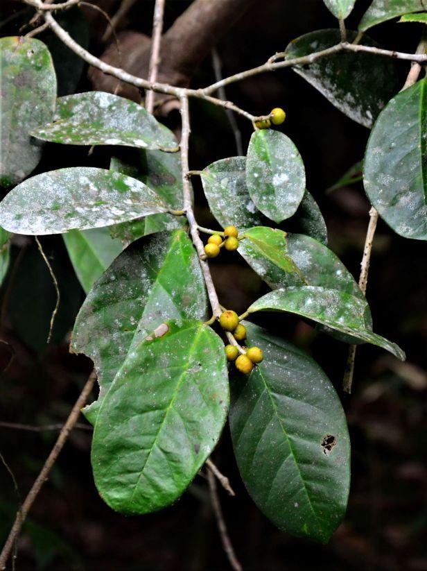 03 Ficus pisocarpa Kg. Sukau, Sg. Menanggol●20190475★Shuai LIAO-IMG_9758.JPG