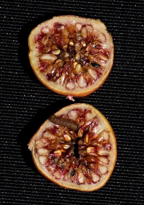 04 Ficua acamptophylla Ripin Pontianak DSC02649