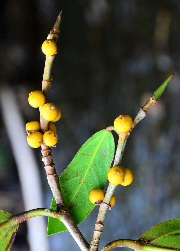 04 Ficus pisocarpa Beluran, Tawai FR, Sg. Meliau●20190431★ Shuai LIAO-LSL_1885