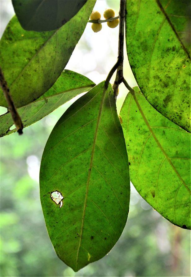 04 Ficus pisocarpa Kg. Sukau, Sg. Menanggol●20190475★Shuai LIAO-IMG_9758.JPG