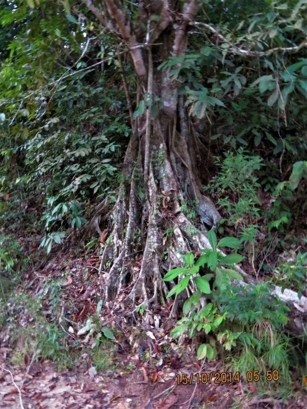 05 Ficus callophylla Deramakot IMG_0012.JPG