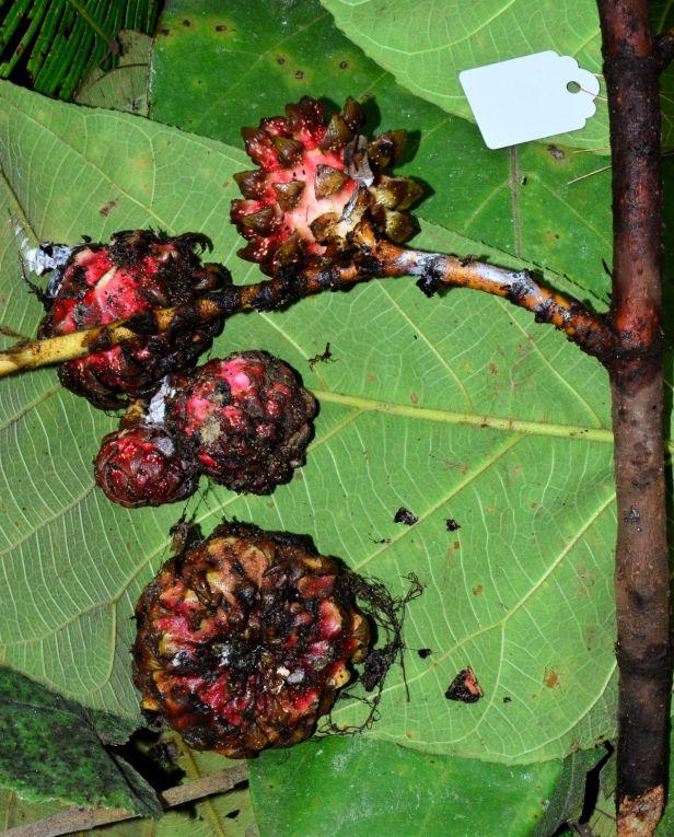 05 Ficus megaleia Jln Papar - Keningau●20190379★ Shuai LIAO-LSL_9695.JPG
