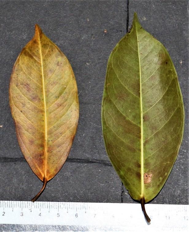 05 Ficus sundaica Danau Girang 3P7A9452